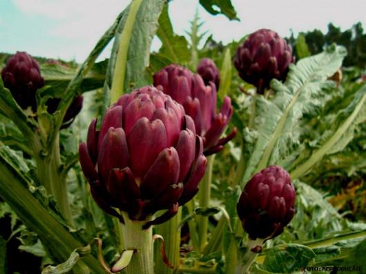 Horta - como plantar Alcachofra (Cynara cardunculus subsp scolymus)