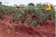 Cultivo e o processamento de mandioca, produto brasileiro com mercado garantido