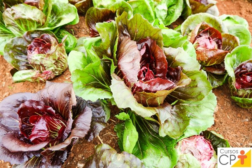 Horta: como plantar Almeirão (Cichorium intybus)   Artigos CPT