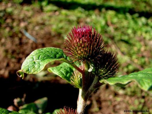 Horta - como plantar Bardana (Arctium lappa)