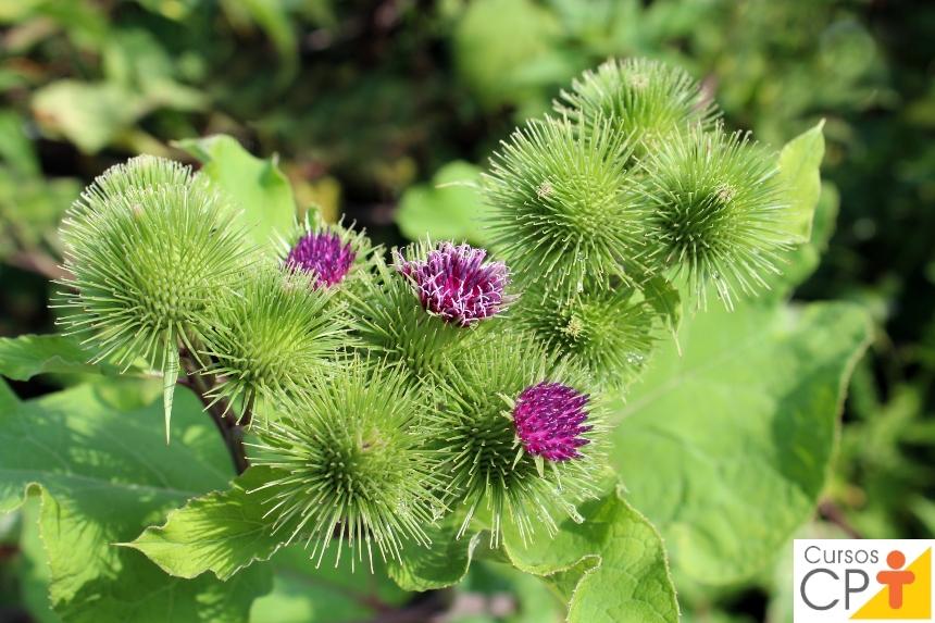 Horta: como plantar Bardana (Arctium lappa)   Artigos CPT