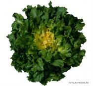 Horta - como plantar Chicória (Cichorium endivia)