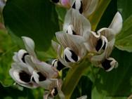 Horta - como plantar Fava (Vicia faba)