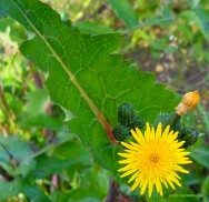Horta - como plantar Serralha (Sonchus oleraceus)