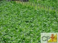 Processamento de Milho Verde: milho branco