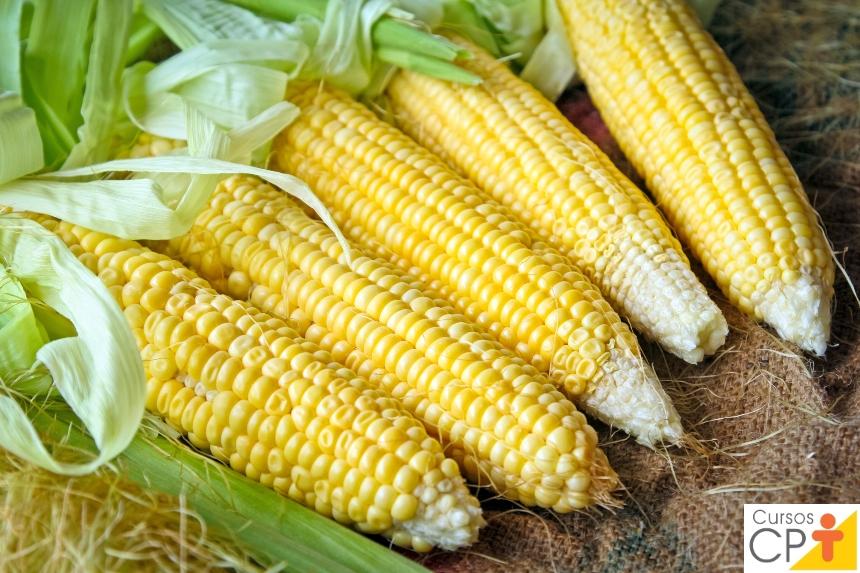 Processamento de Milho Verde: milho transgênico   Artigos CPT