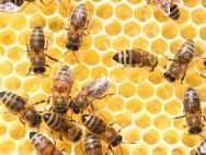 Abelhas com ferrão - como as Apis mellifera se comunicam
