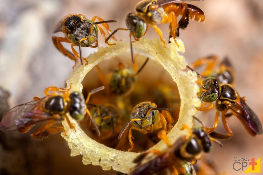 Abelhas sem ferrão: Marmelada Amarela (Frieseomelitta varia)   Artigos CPT