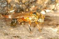 Abelhas sem ferrão - Marmelada Amarela (Frieseomelitta varia)