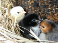 Engana-se quem avalia a criação de frango e de galinha caipira como uma atividade condenada ao prejuízo