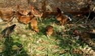 Galinha Caipira - piquetes reduzem os custos com a alimentação