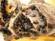 Abelhas sem ferrão - Boca-de-Sapo (Partamona helleri)