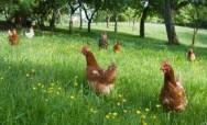 Aprenda Fácil Editora: Sistema orgânico de criação de frango