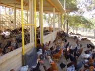 Na criação de galinha caipira as aves são mantidas livres ou semi confinadas.