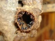 Abelhas sem ferrão - Abelha-Limão (Lestrimelitta limao)
