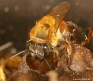 Abelhas sem ferrão - Uruçu-Amarela (Melipona rufiventris)
