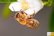Abelhas sem ferrão: Uruçu-Amarela (Melipona rufiventris)