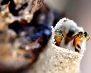 Abelhas sem ferrão - Mirim Droryana (Plebeia droryana)