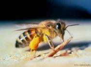 Abelhas com ferrão - Abelha-Africana (Apis mellifera scutellata)