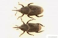 Pragas do mamão - Coleobrocas (Rynchophorus palmarum L.)