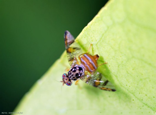Pragas do mamão - Mosca-das-frutas (Ceratitis capitata)