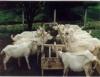 Sistema orgânico de criação de cabras permite obter alimento seguro e saudável
