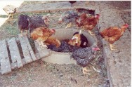 O larvário é o local onde as moscas domésticas criam suas larvas, que após quatro dias estão prontas para serem servidas às galinhas.