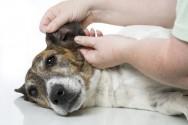 Trato dos cães - como limpar as orelhas
