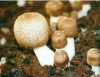 Cogumelo medicinal ajuda no combate ao câncer