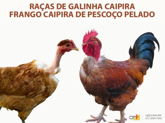 Frango e Galinha Caipira - Frango Caipira de Pescoço Pelado