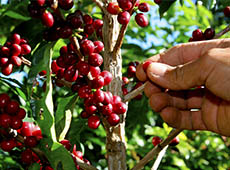 Colheita, Preparo e Armazenamento de Café