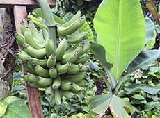 Produção de Banana