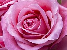 Curso Como Produzir Rosas