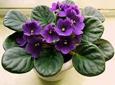 Como Produzir Violetas