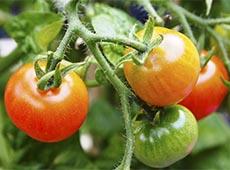Curso Hidroponia - Cultivo de Tomate