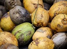 Curso Controle de Pragas e Doenças do Coqueiro