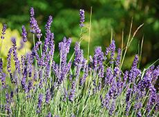Plantas Medicinais e Aromáticas - Produção de Mudas