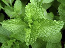 Plantas Medicinais e Aromáticas - Colheita e Beneficiamento