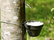 Cultivo de Seringueira para Produção de Borracha Natural