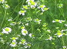 Farmácia Viva - Utilização de Plantas Medicinais
