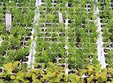 Produção Comercial de Plantas Medicinais