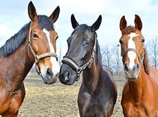 Como Avaliar Idade e Pelagem de Cavalos