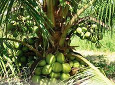 Curso Irrigação do Coqueiro Anão