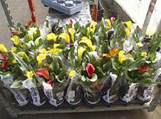 Produção Comercial de Antúrio, Helicônia e Spathiphyllum