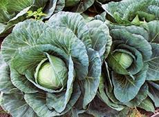 Cultivo Orgânico de Brócolis, Couve-Flor e Repolho