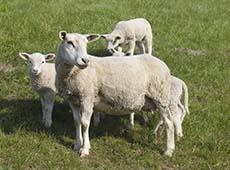 Formação e Manejo de Pastagens para Ovinos