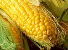 Cultivo de Milho Hidropônico - Para Alimentação Animal