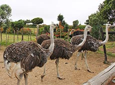 Avestruz - Reprodução, Cria e Recria