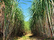 Cultivo de Cana-de-açúcar para Produção de Cachaça