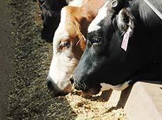 Cana-Ureia - Alimento de Baixo Custo para Bovinos